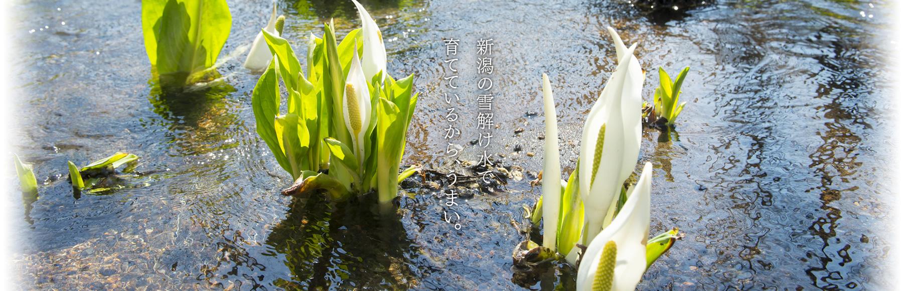 新潟の雪止め水で育てているから、うまい。